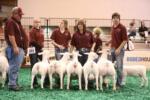 1st Place Flock - Houston Livestock Show 2016